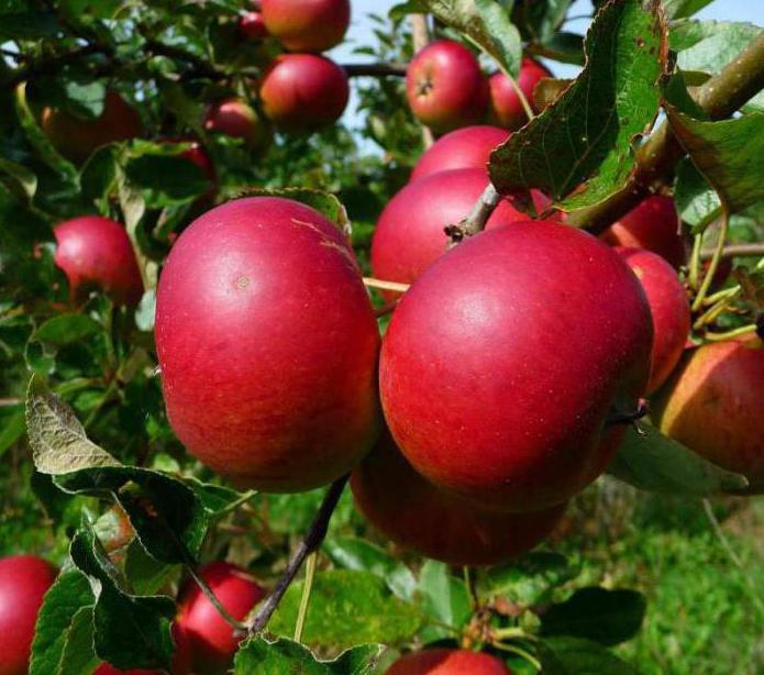 apple tree delight photo