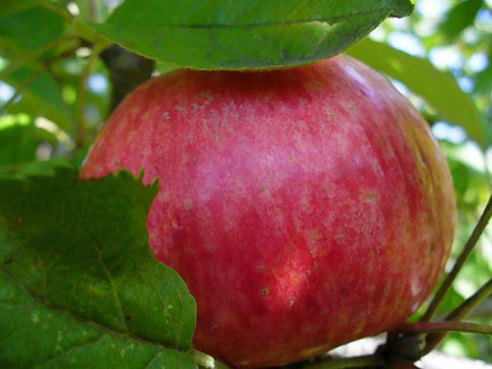 apple tree delight reviews