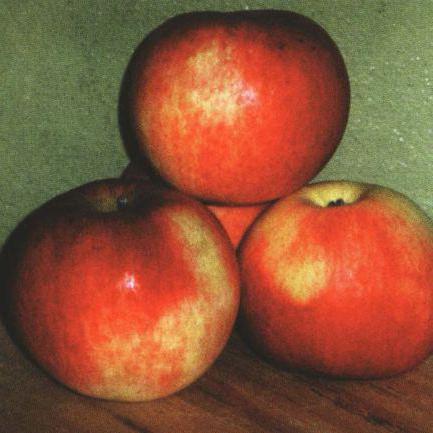 delight apple tree description