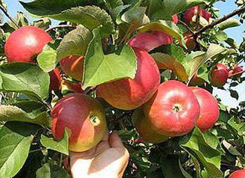 apple tree delight