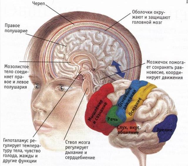 кора головного мозга зоны коры головного мозга