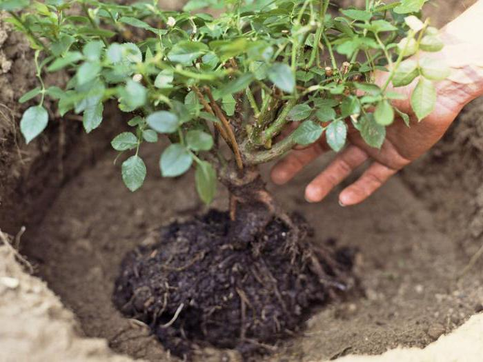 planting roses in the ground in spring