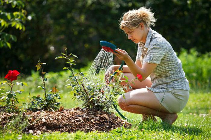 planting roses in spring in the ground