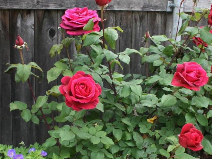 planting roses in spring in open ground