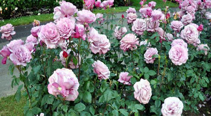 the correct planting of roses in the spring in the ground