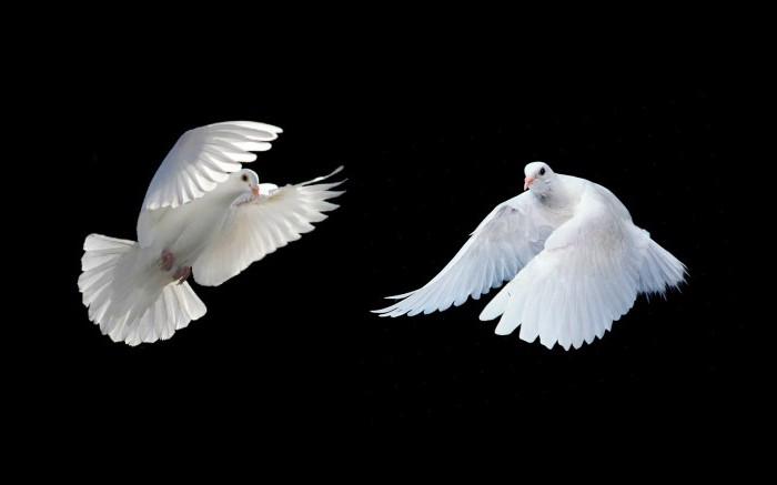как размножаются голуби и где их дети