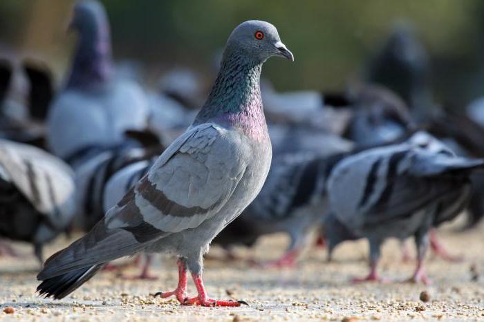 как голуби спариваются