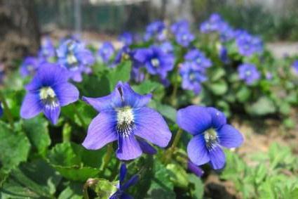 fragrant violet