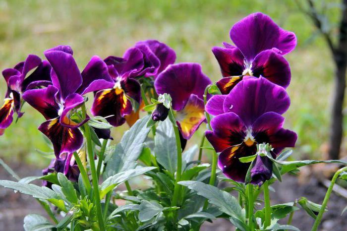 violet garden tricolor