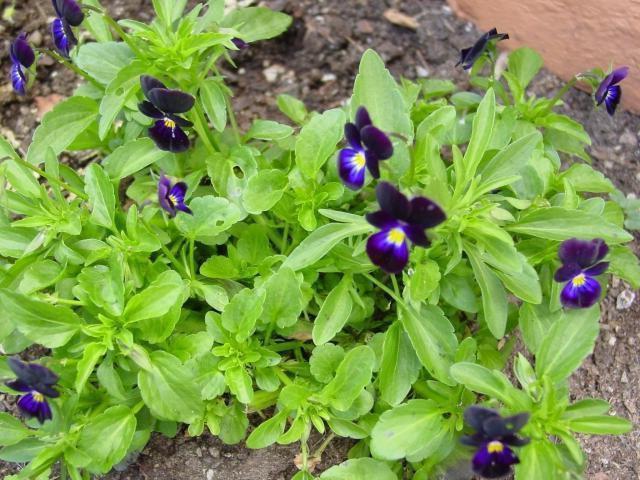 violet garden perennial