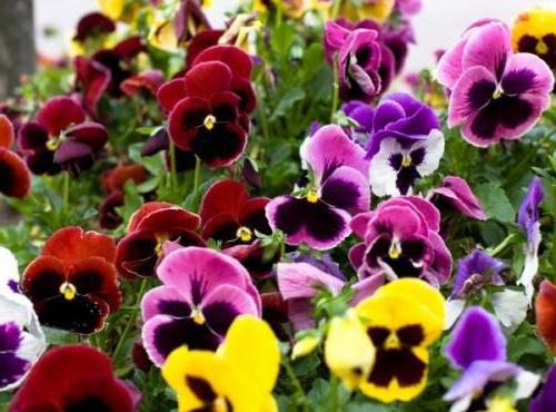 types of garden violets