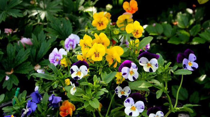 violet garden planting and care