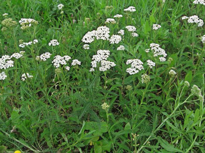 Съедобные дикорастущие растения и травы
