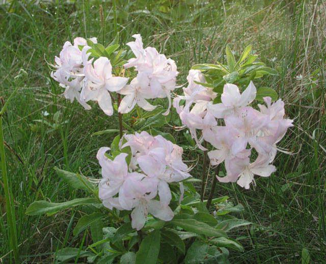 Caucasian rhododendron medicinal properties and contraindications