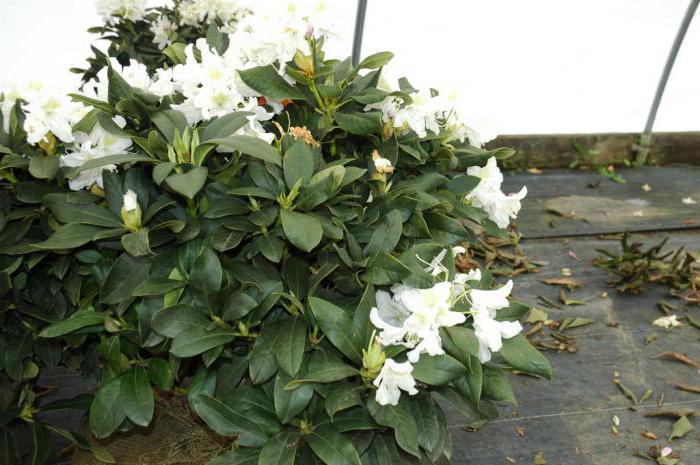 Caucasian rhododendron