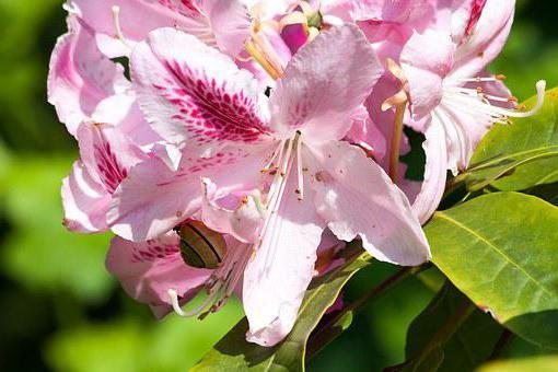 rhododendron Caucasian photo