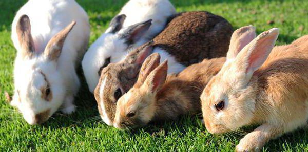 Какой травой можно кормить кроликов