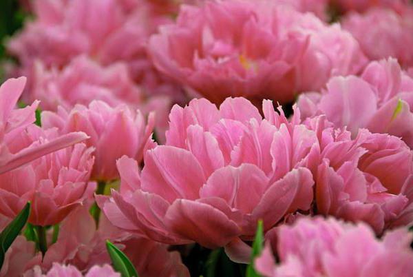 махровые тюльпаны отзывы