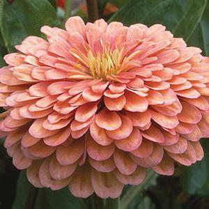 majors flowers growing