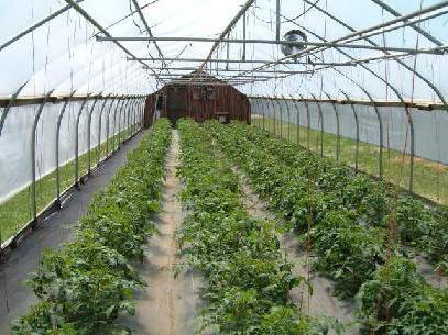 at what distance to plant cherry tomatoes