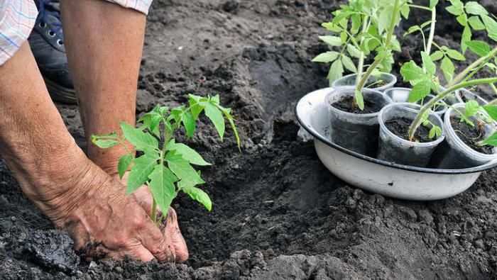 at what distance to plant stunted tomatoes