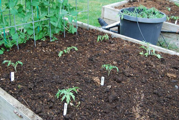 at what distance to plant tomato seedlings