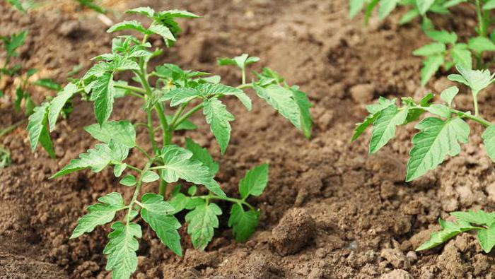 at what distance to plant tomatoes in open ground