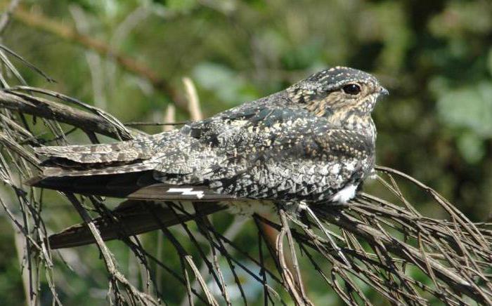 птицы козодои виды