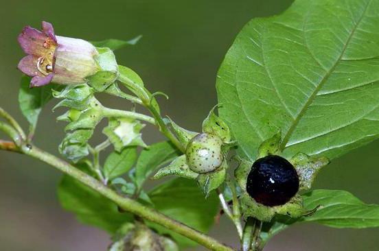 belladonna common use in medicine