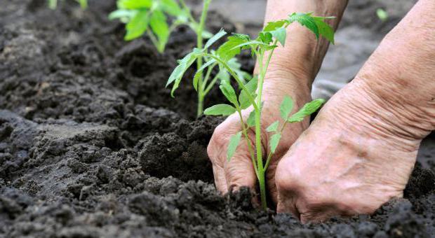 можно ли сажать капусту рядом с помидорами