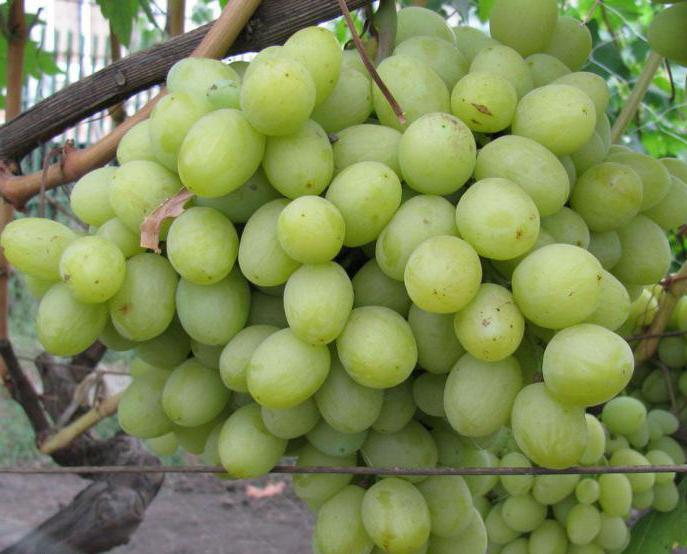 виноград валек фото