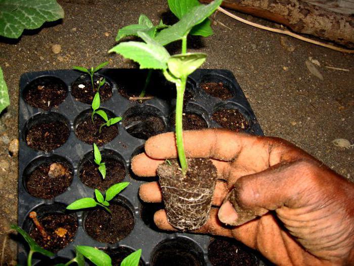 """Огурец """"мурашка F1"""": описание сорта, выращивание, урожайность и отзывы"""
