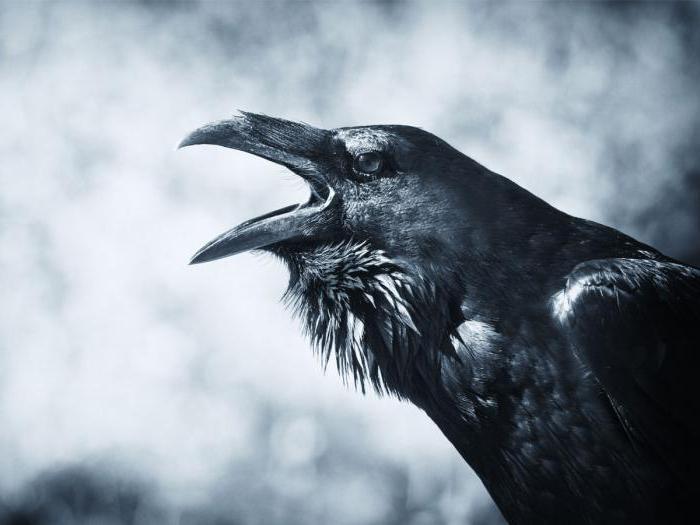 Птица черная с черным клювом