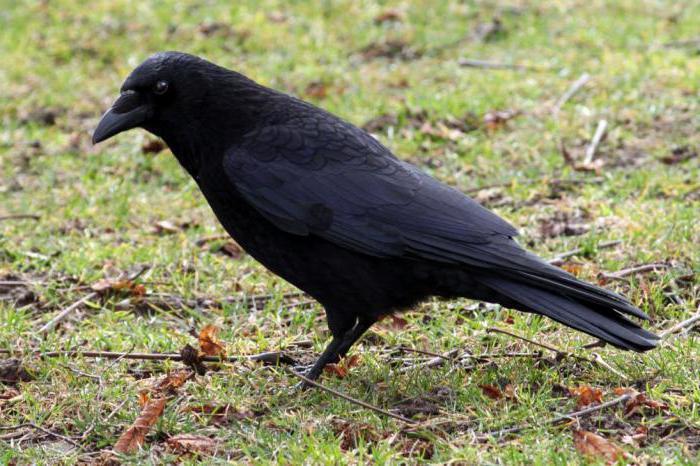 Размножение ворон
