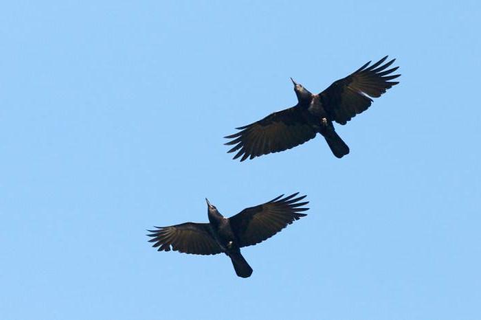 Вороны ареал обитания