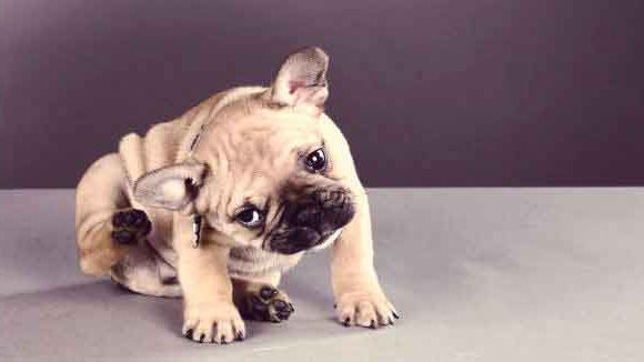 allergy in dogs symptoms and treatment