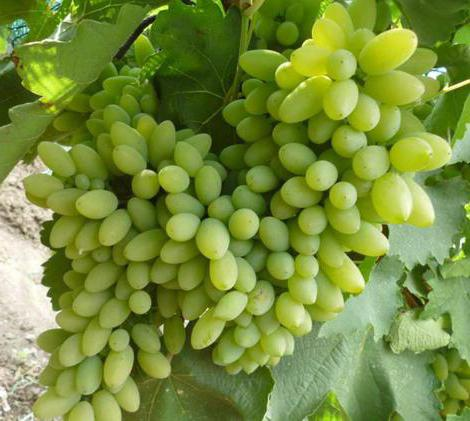 Timur grapes