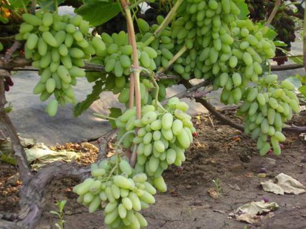 grape timur description