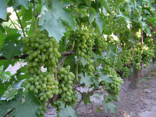 grapes timur reviews
