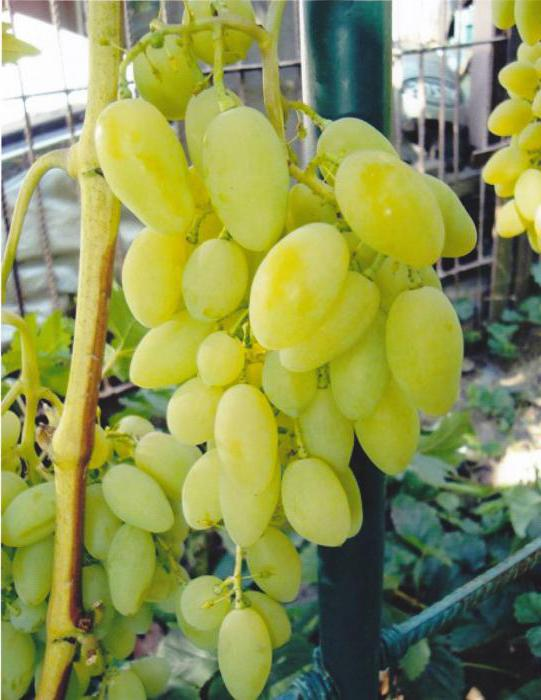 Timur grape variety