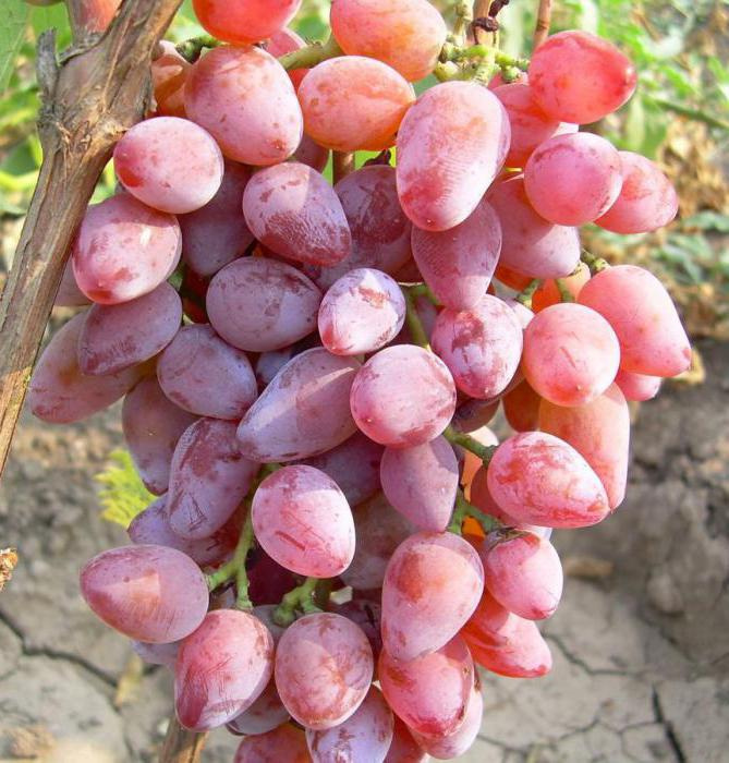 grape timur variety description
