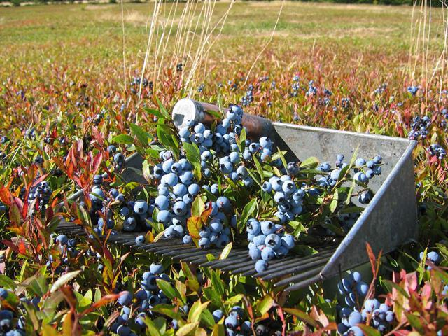 Combine to collect blueberries do it yourself