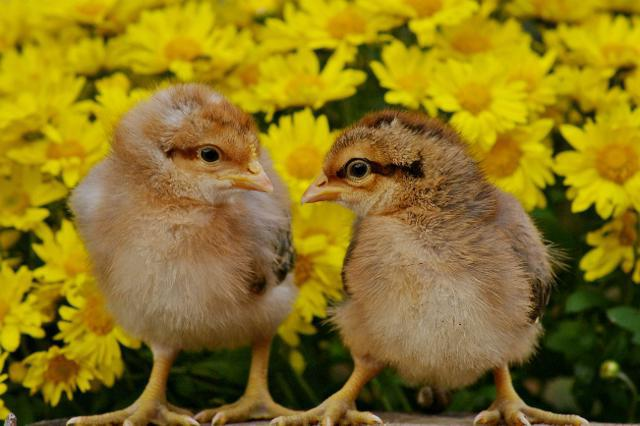 bielefelder chickens and their features