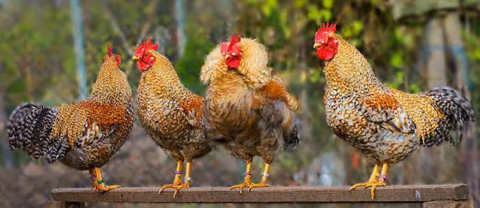 Bielefelder breed of chickens