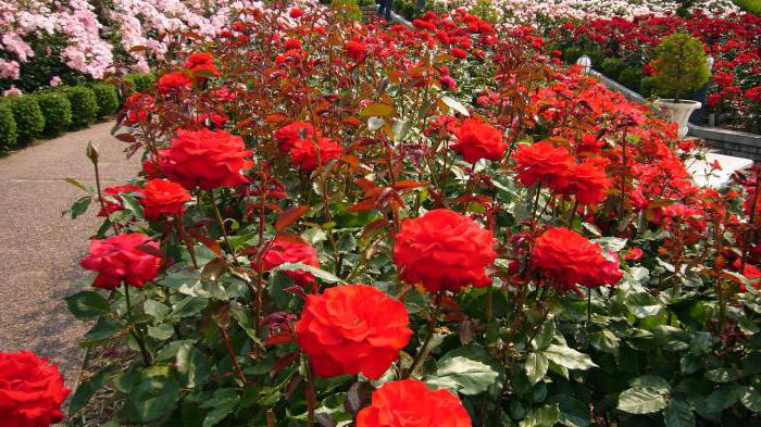 the best varieties of park roses for the Moscow region