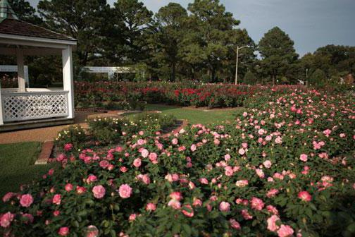 park roses varieties for the suburbs photo
