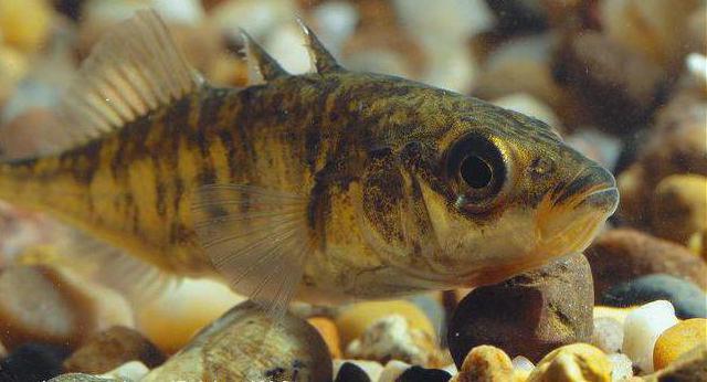 колюшка рыба