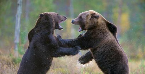 медведи в дикой природе