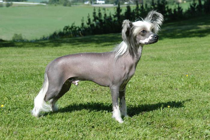 Китайские собаки: описание породы и фото