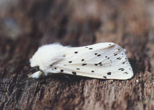 ermine moth on an apple tree